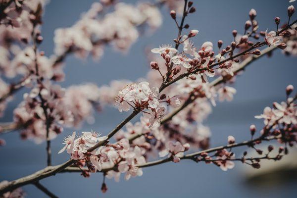 Kirschbaumblüte Schwarzwald